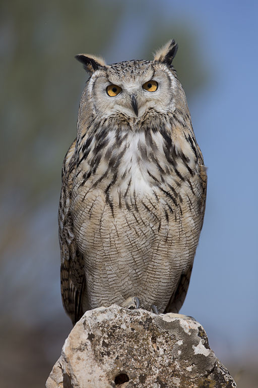 European-Eagle-Owl