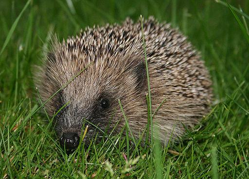 European-Hedgehog