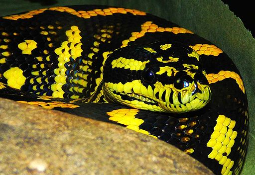 Jungle_Carpet_Python
